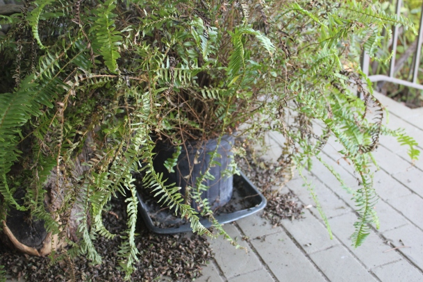 Poor front porch fern, you've been left to die all alone. But I am determined to save you!